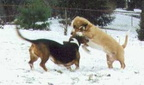 Bessie wrestling Hoov Doggers in the snow